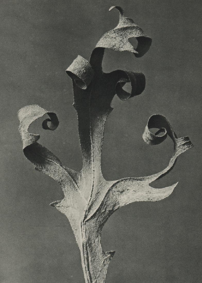 KARL BLOSSFELDT - Primula Japonica