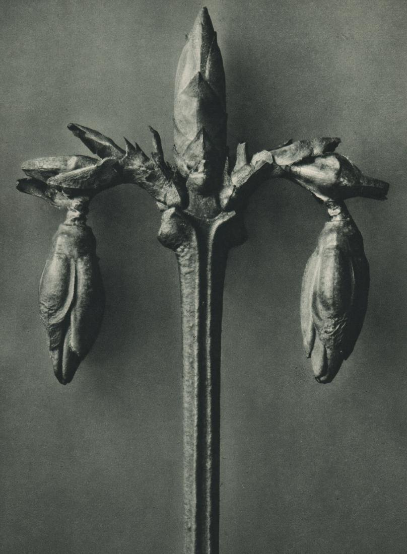 KARL BLOSSFELDT - Eryngium maritimum