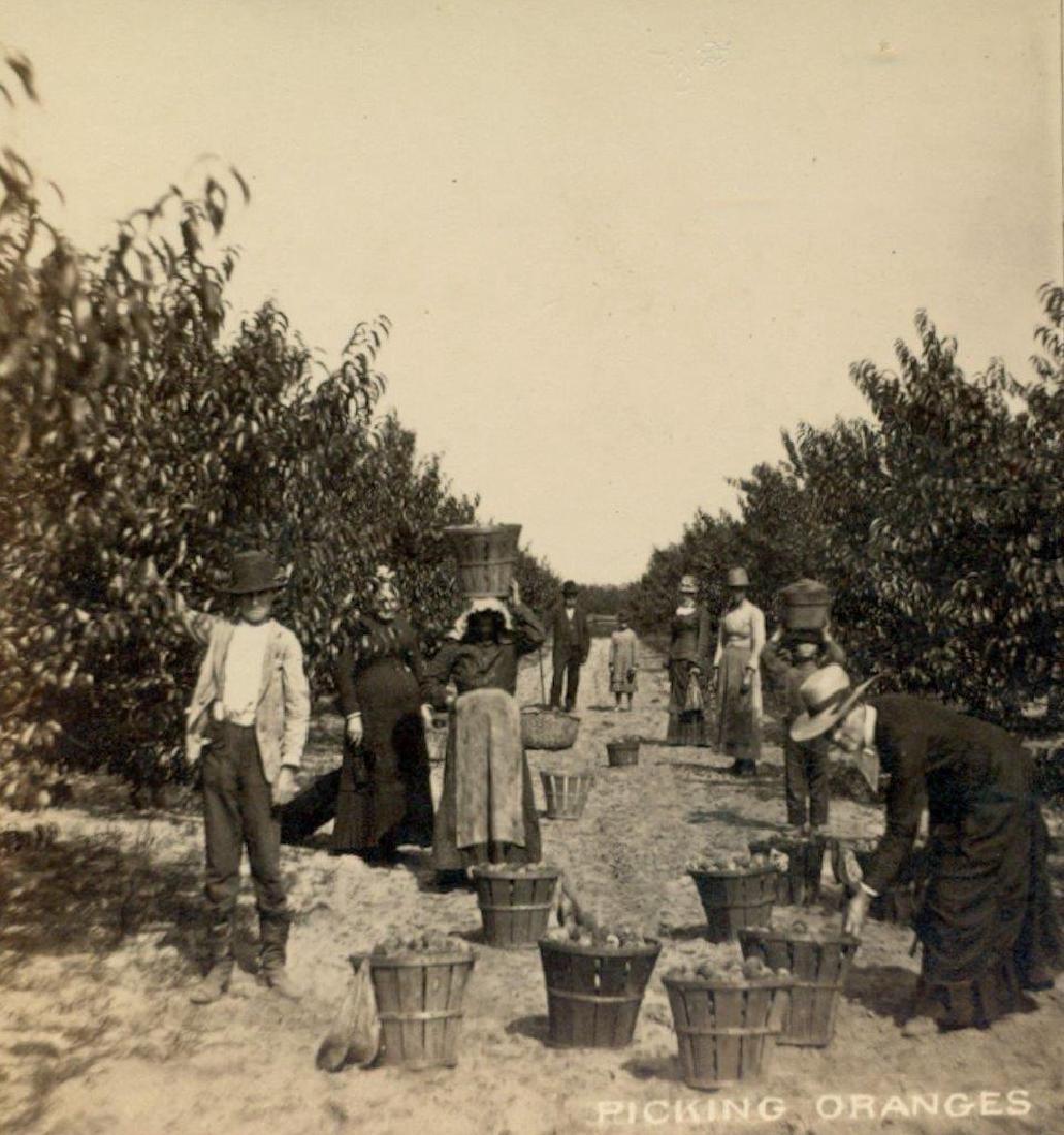 1880 Savannah Georgia Occupational Picking Oranges