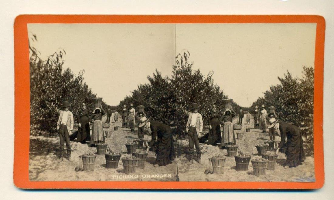 1880 Savannah Georgia Occupational Picking Oranges - 2