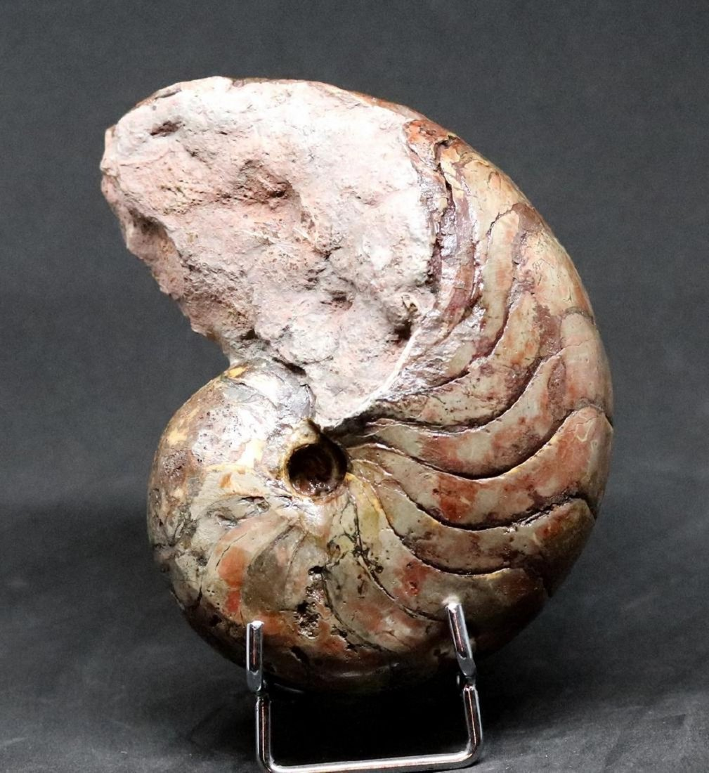 Fossil: Cenoceras Jourdani
