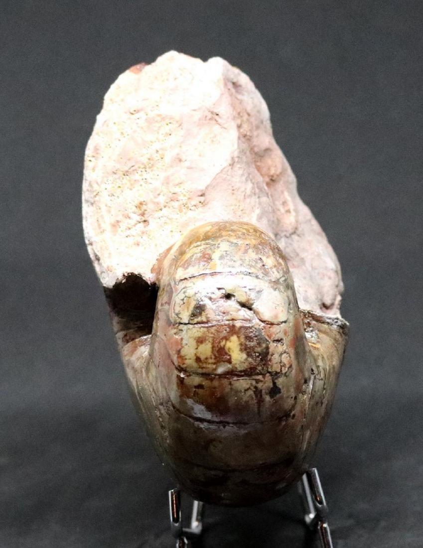 Fossil: Cenoceras Jourdani - 2
