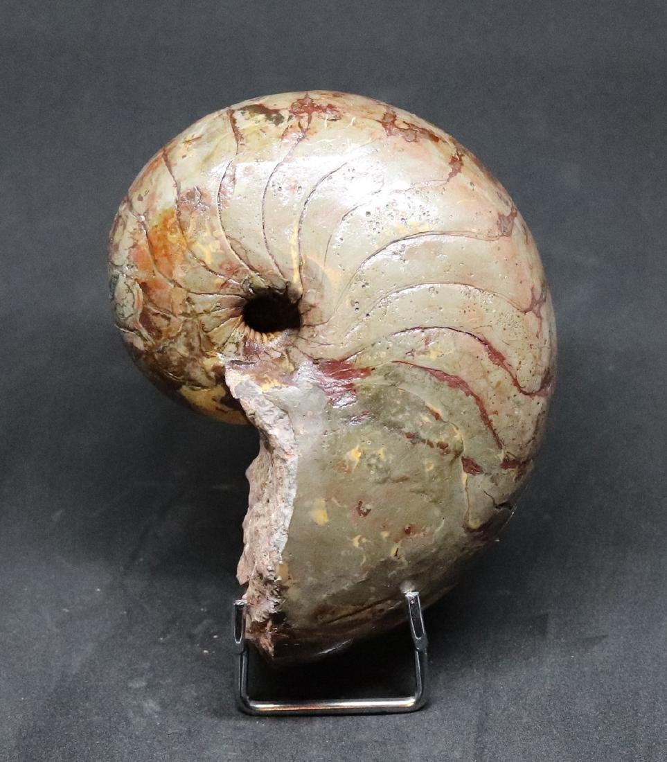 Fossil: Cenoceras Jourdani - 4