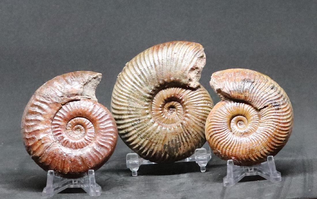 Fossil: Grammoceras, Hammatoceras & Pseudogrammoceras