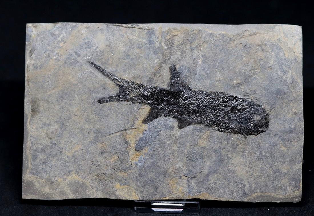 Fossil: Paramblypterus duvernoyi
