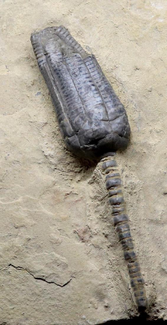 Fossil: Encrinus Liliiformis - 2