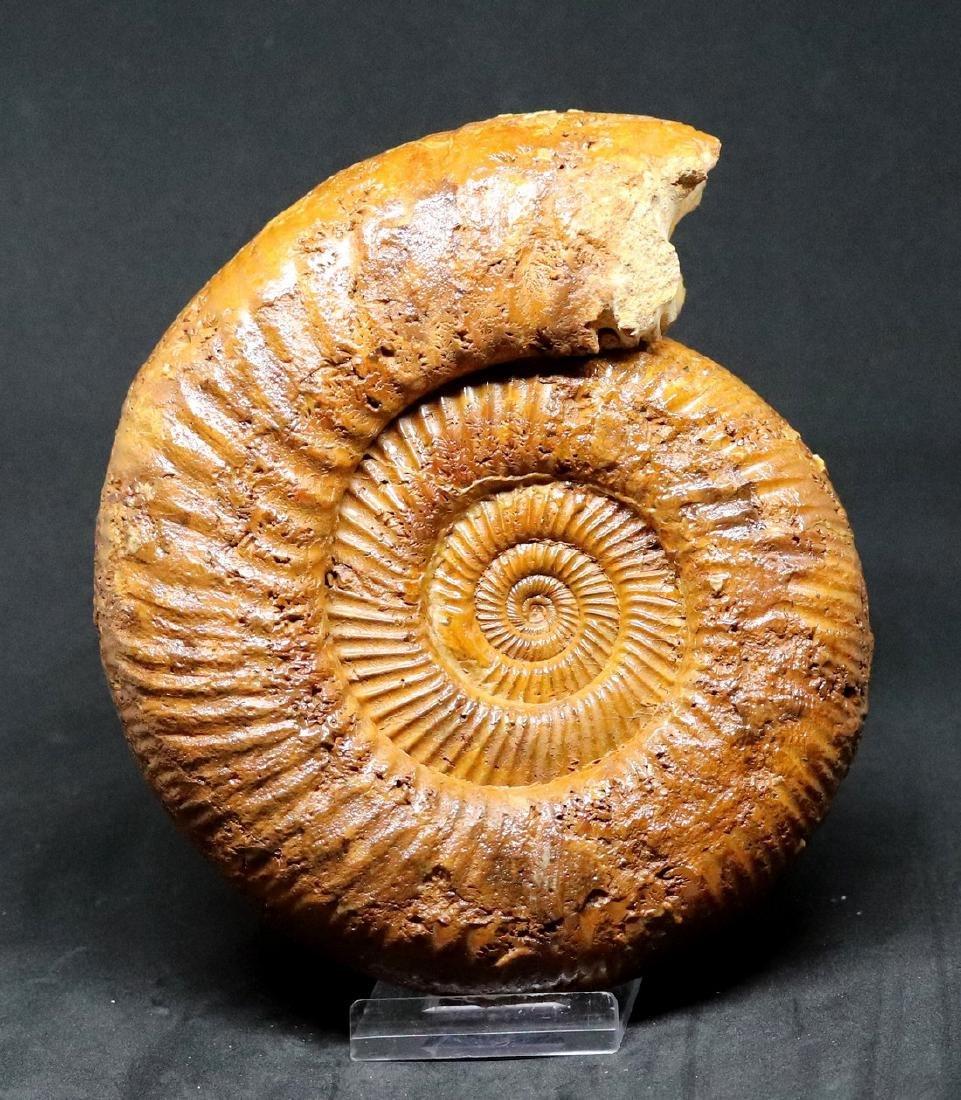 Fossil: Kranaosphinctes Mahabobokenbis