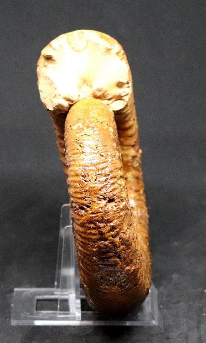 Fossil: Kranaosphinctes Mahabobokenbis - 3