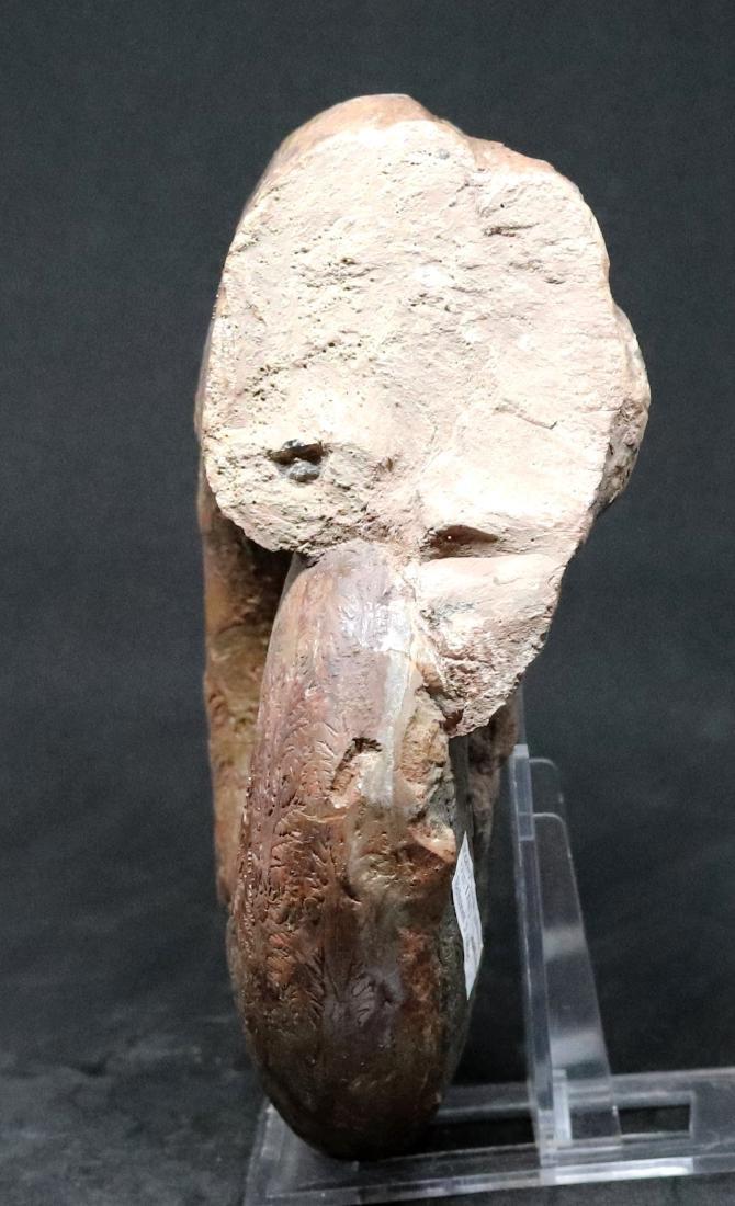 Fossil: Lytoceras jurense - 3