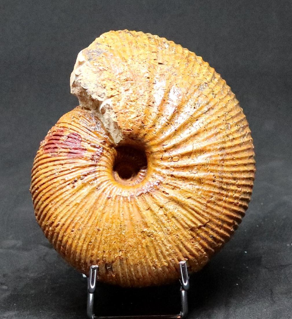 Fossil: Epimayaites axonoides