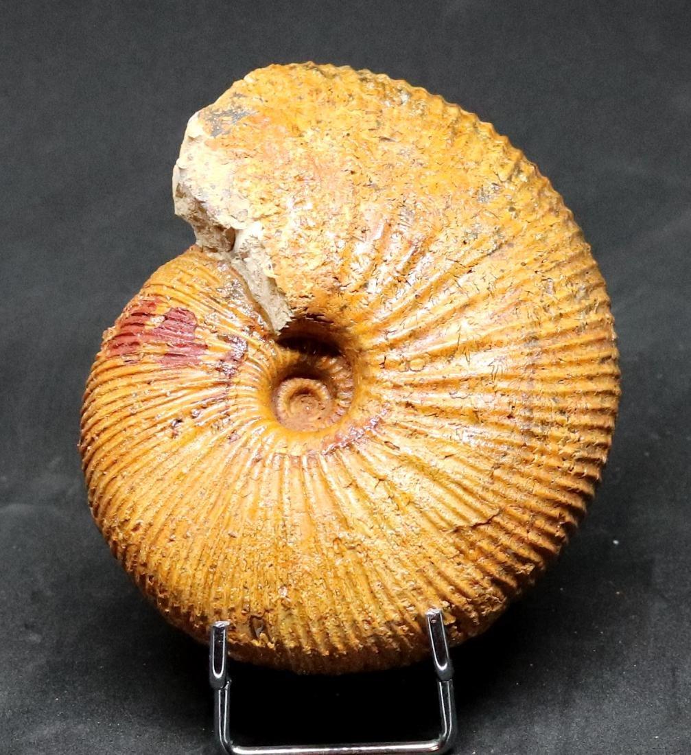 Fossil: Epimayaites axonoides - 2