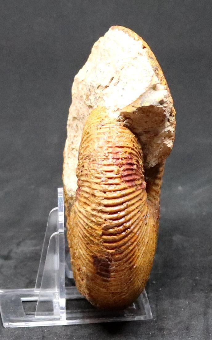 Fossil: Epimayaites axonoides - 3