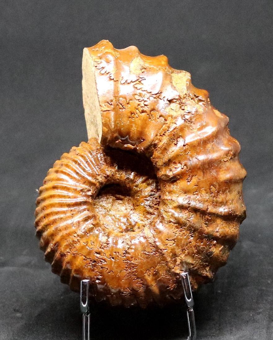 Fossil: Calycoceras asiaticum - 2