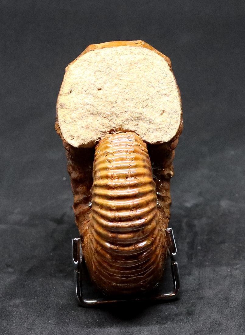 Fossil: Calycoceras asiaticum - 3