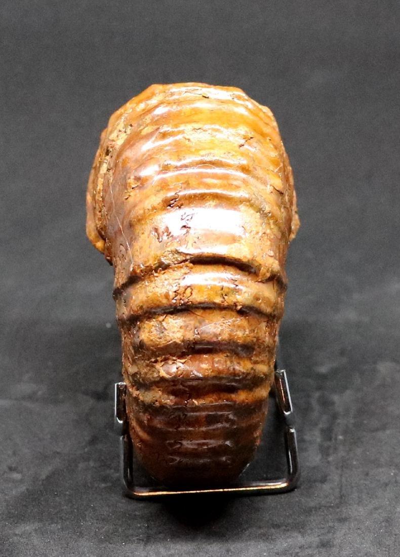 Fossil: Calycoceras asiaticum - 4