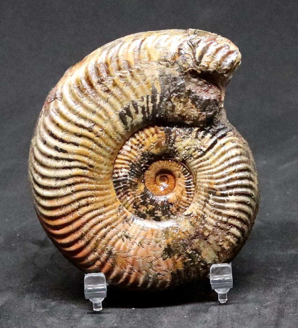 Fossil: Pseudogrammoceras differens