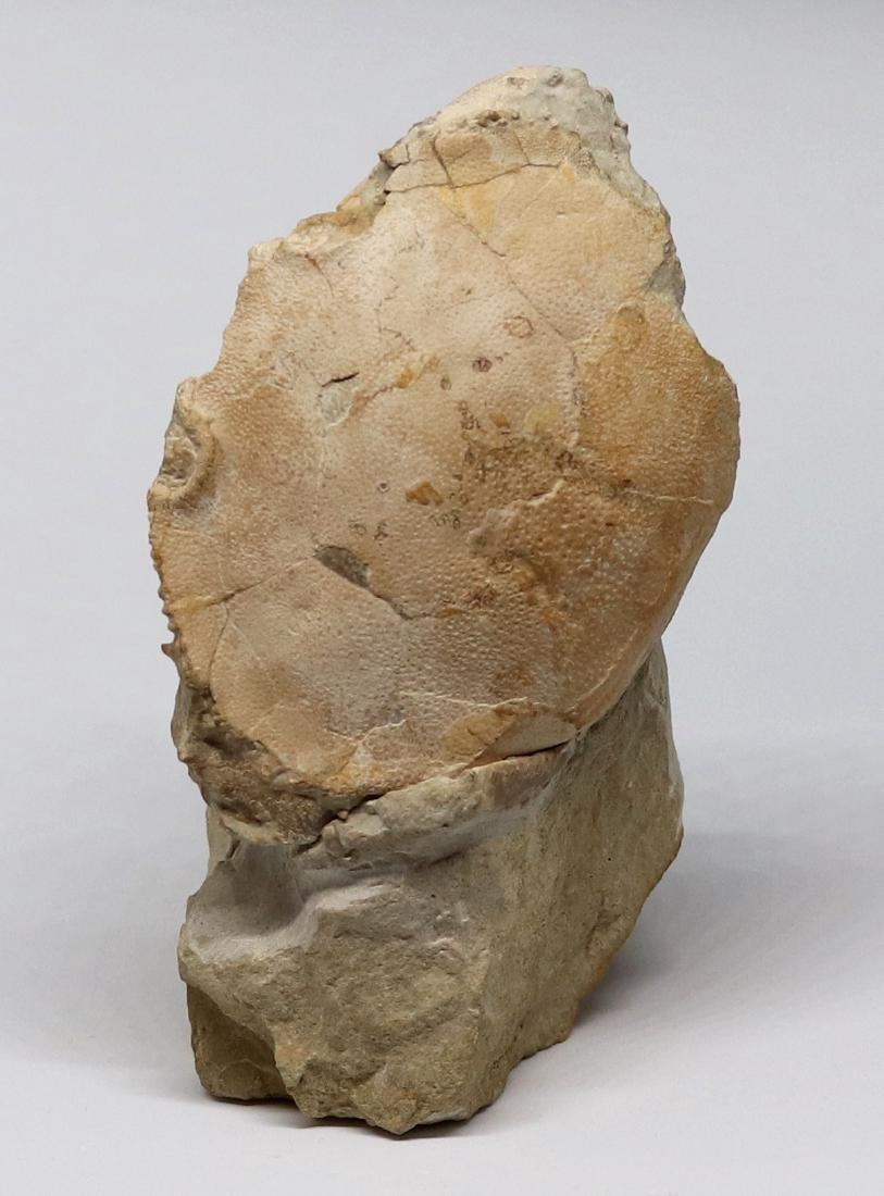 Fossil: Harpactocarcinus punctulatus