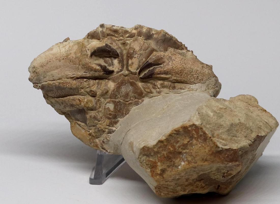 Fossil: Harpactocarcinus punctulatus - 2