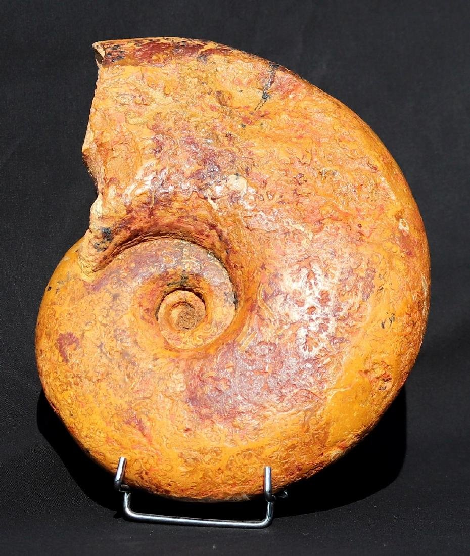 Fossil: Pachylytoceras dilucidum - 2