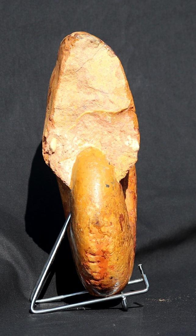 Fossil: Pachylytoceras dilucidum - 3