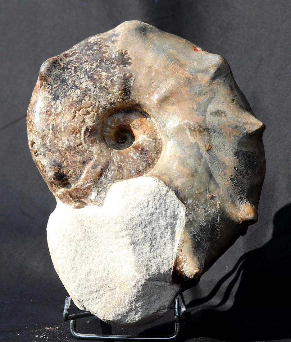 Fossil: Mammites nodosoides