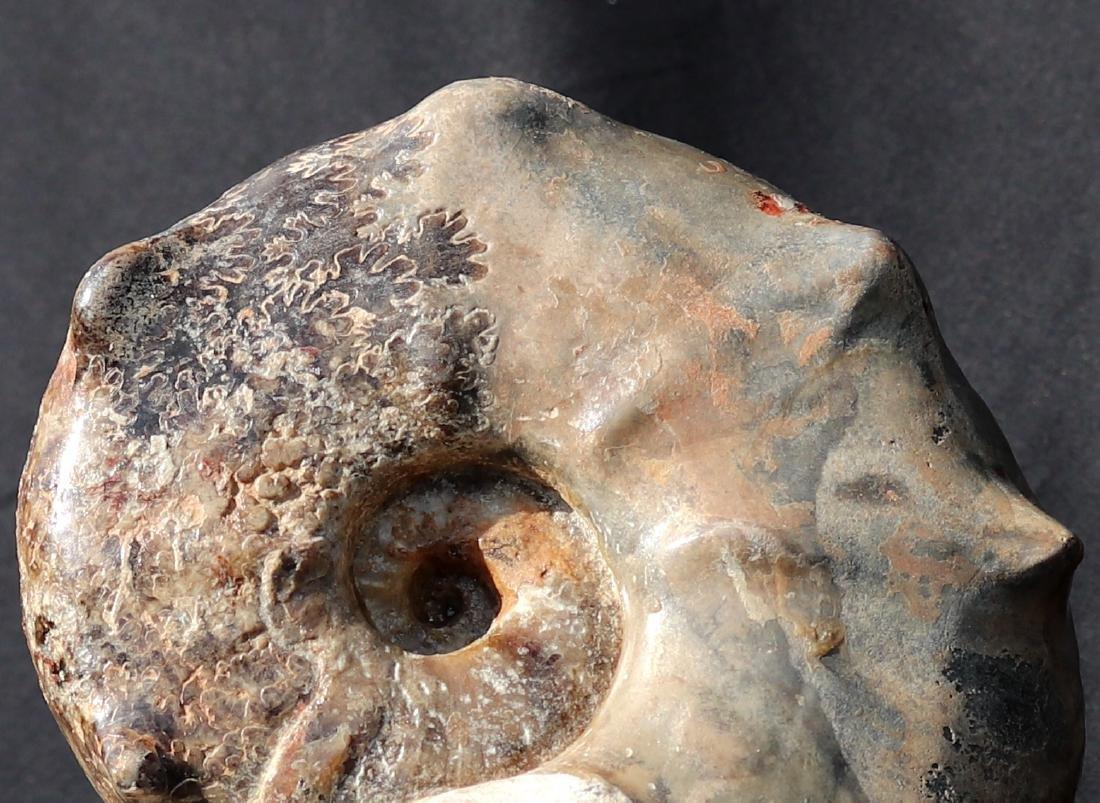 Fossil: Mammites nodosoides - 2
