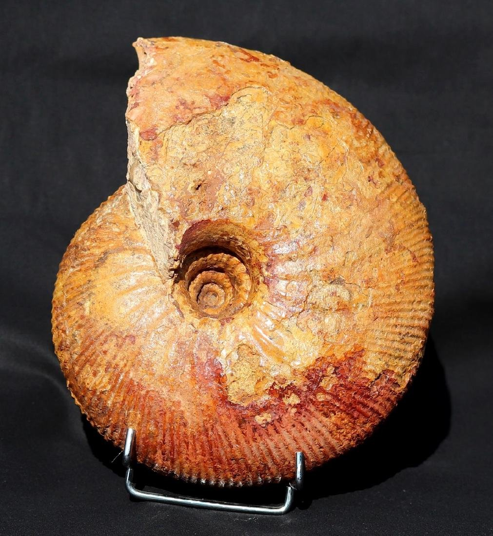 Fossil: Macrocephalites madagascariensis