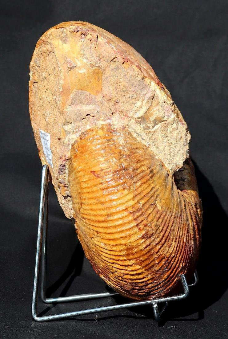 Fossil: Macrocephalites madagascariensis - 2
