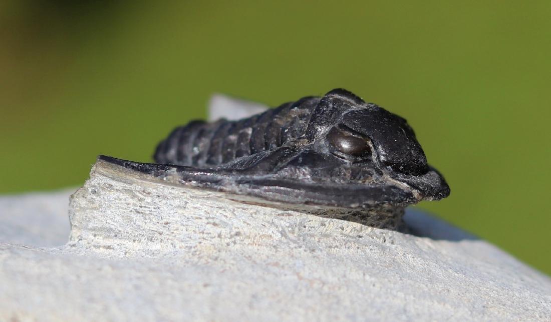 Fossil: Diademaproetus Praecursor - 4
