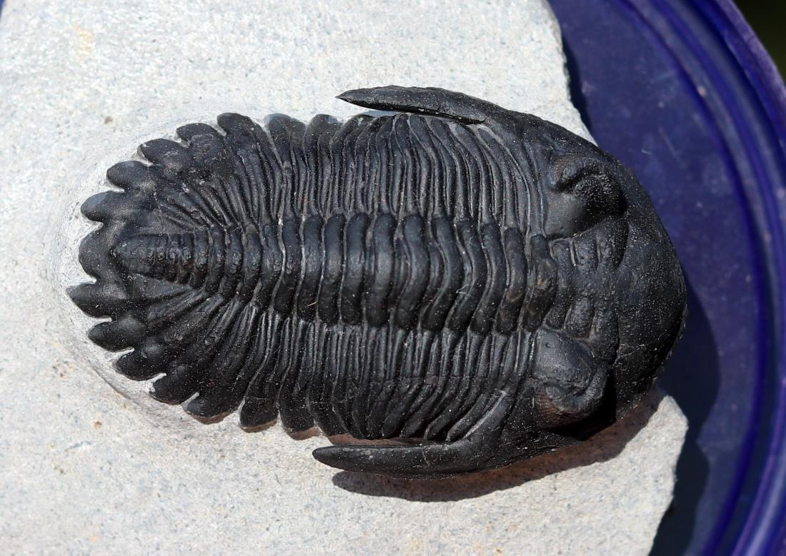 Fossil: Hollardops mesocristata