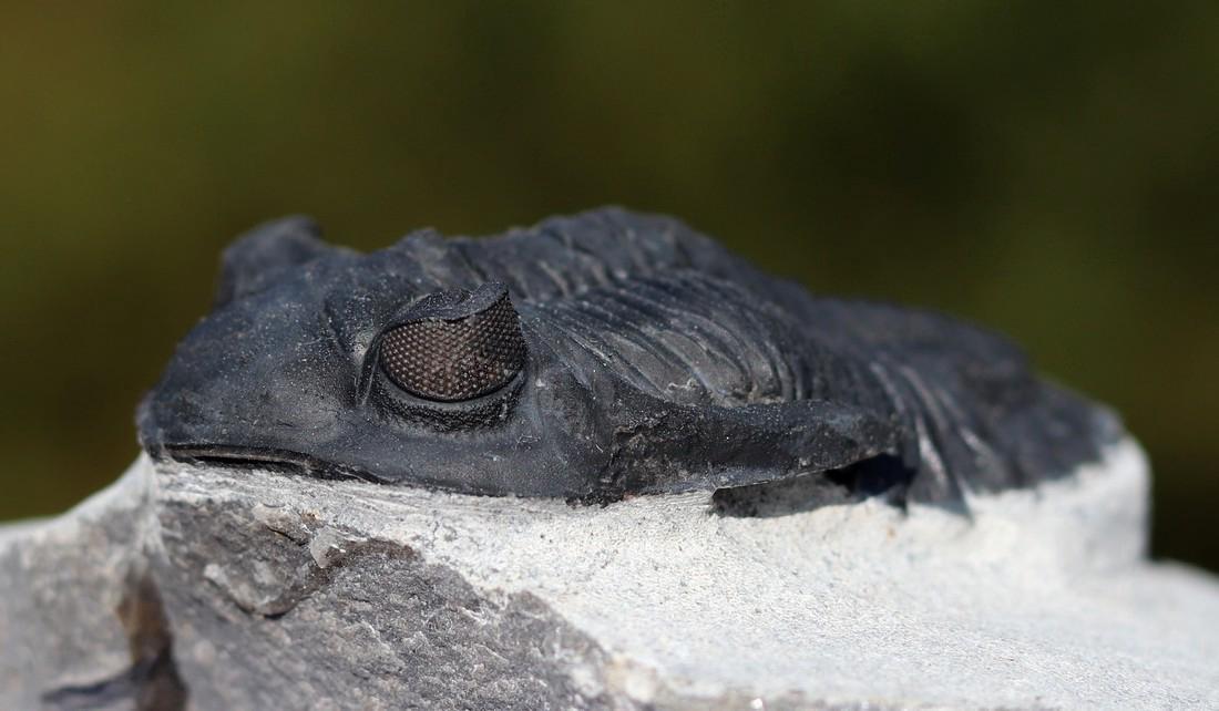 Fossil: Hollardops mesocristata - 2
