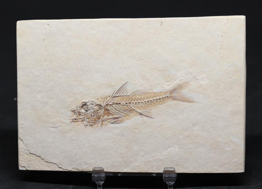 Fossil: Dapalis macrurus