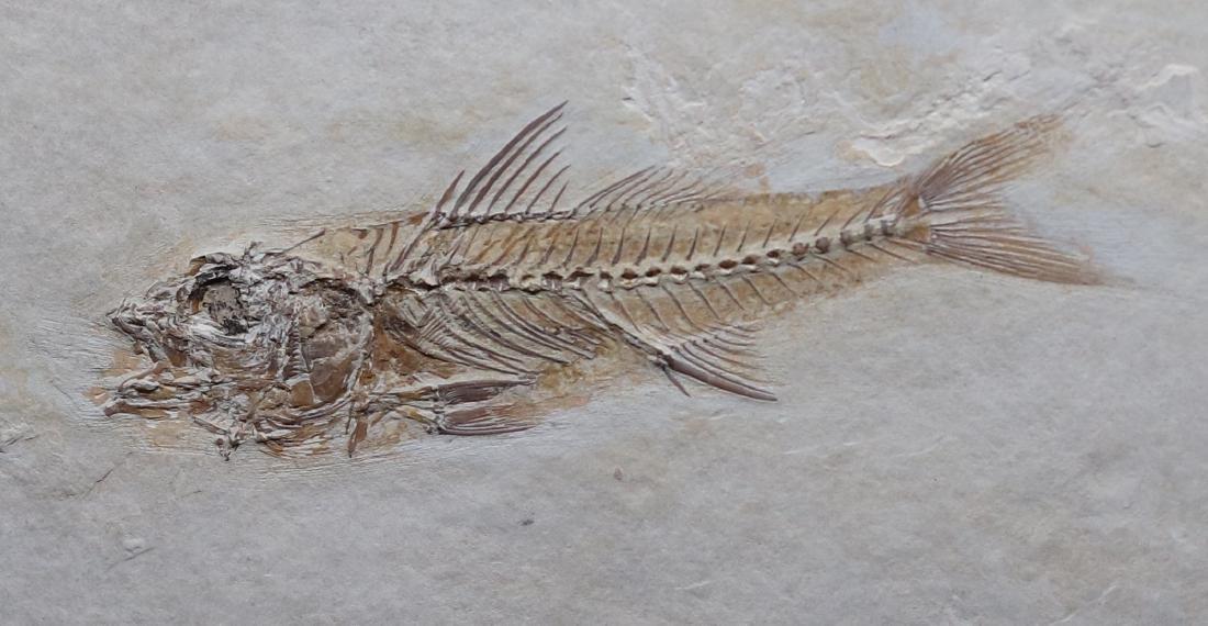 Fossil: Dapalis macrurus - 2