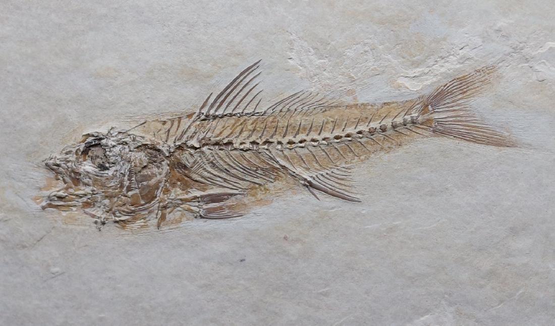 Fossil: Dapalis macrurus - 3