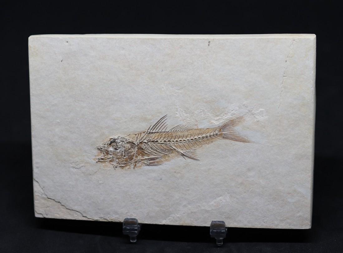 Fossil: Dapalis macrurus - 4