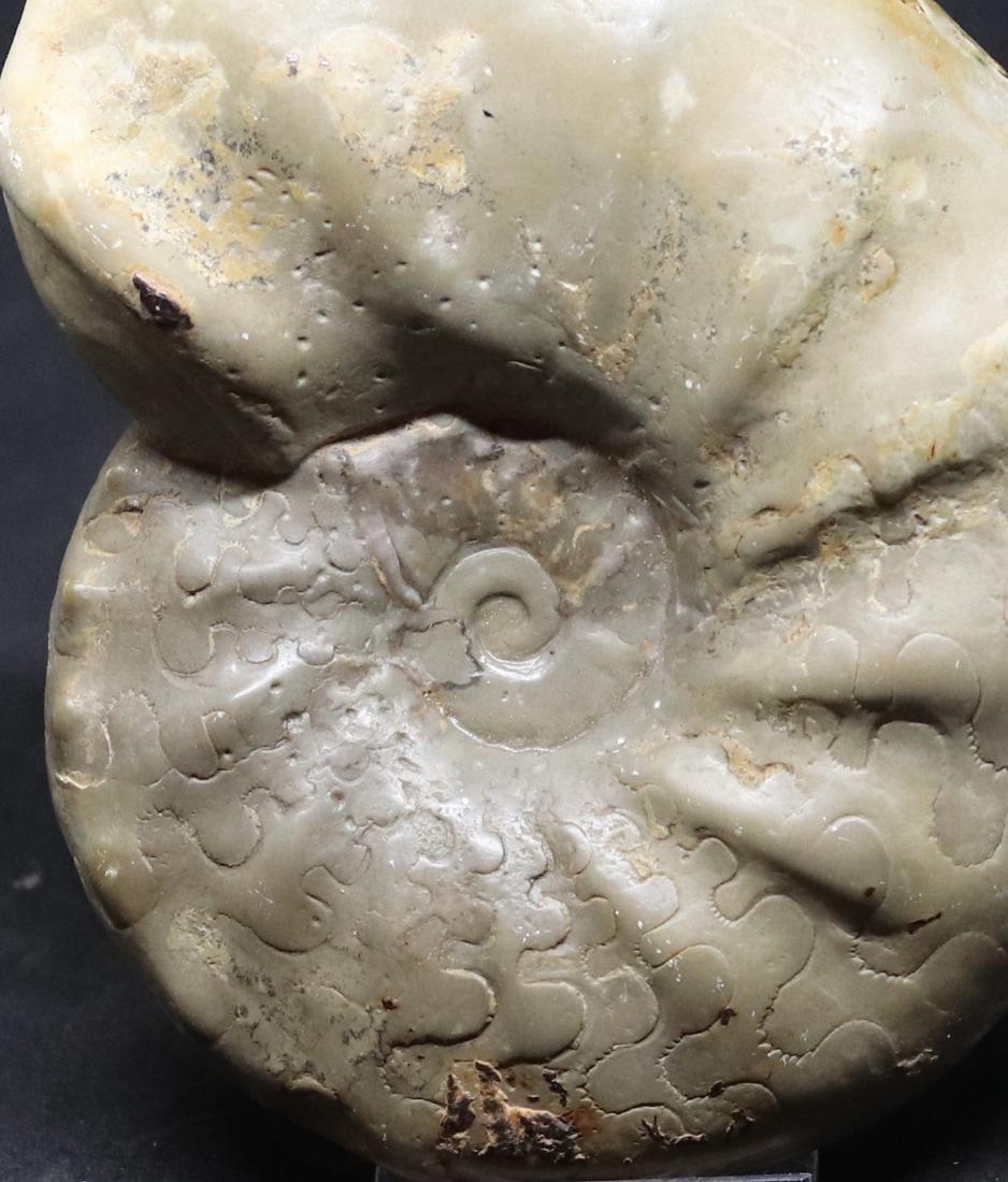 Fossil: Ceratites sublaevigatus - 2