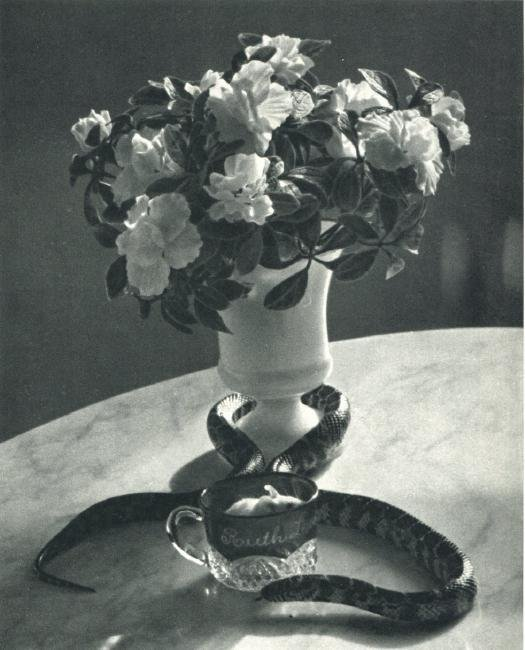 ANDRE KERTESZ - Still Life with Snake. NYC 1960