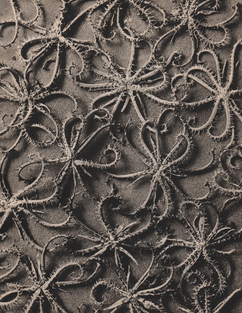 KARL BLOSSFELDT - Chrysanthemum parthenium
