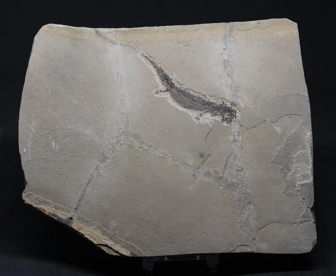 Fossil amphibian : Branchiosaurus petrolei