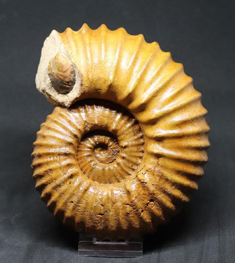 Fossil ammonite : Calycoceras asiaticum