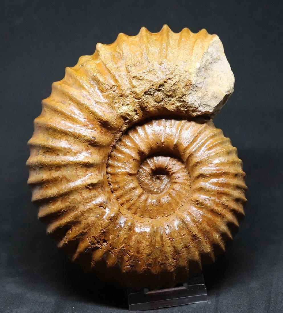 Fossil ammonite : Calycoceras asiaticum - 3
