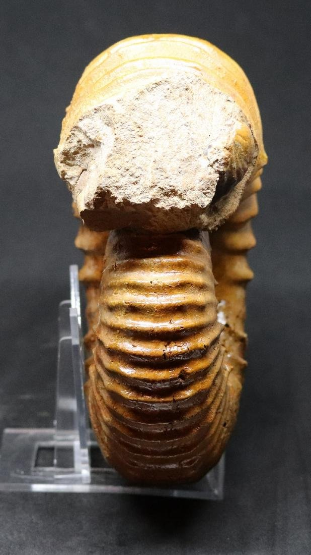 Fossil ammonite : Calycoceras asiaticum - 4