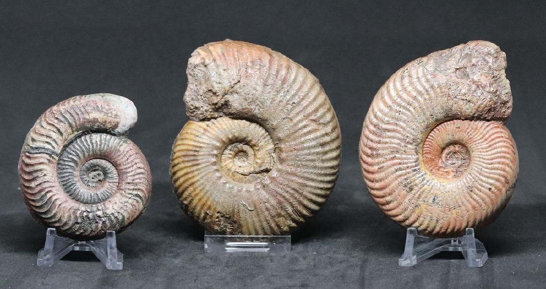 3 jurassic fossil ammonites : Hammatoceras -