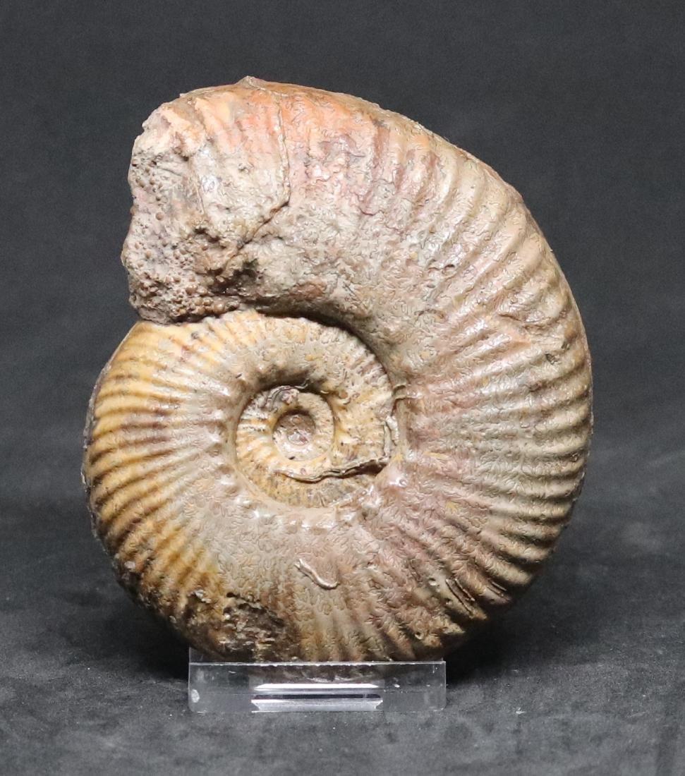3 jurassic fossil ammonites : Hammatoceras - - 2