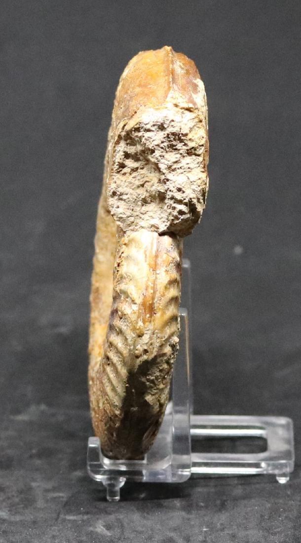 Fossil ammonite : Orthildaites douvillei - 2