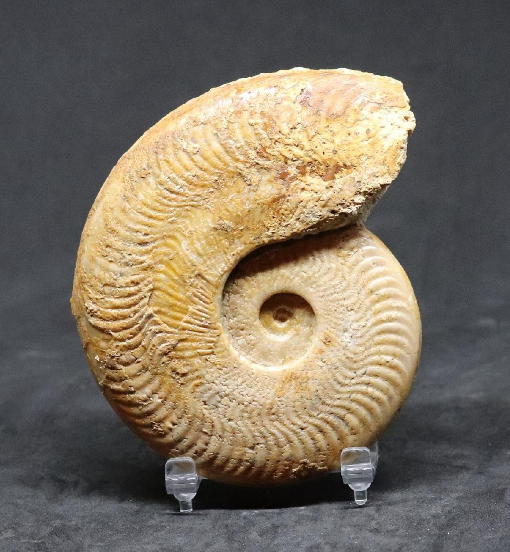 Fossil ammonite : Harpoceras falciferum