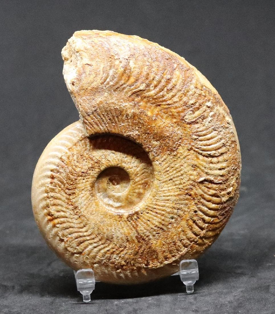 Fossil ammonite : Harpoceras falciferum - 2