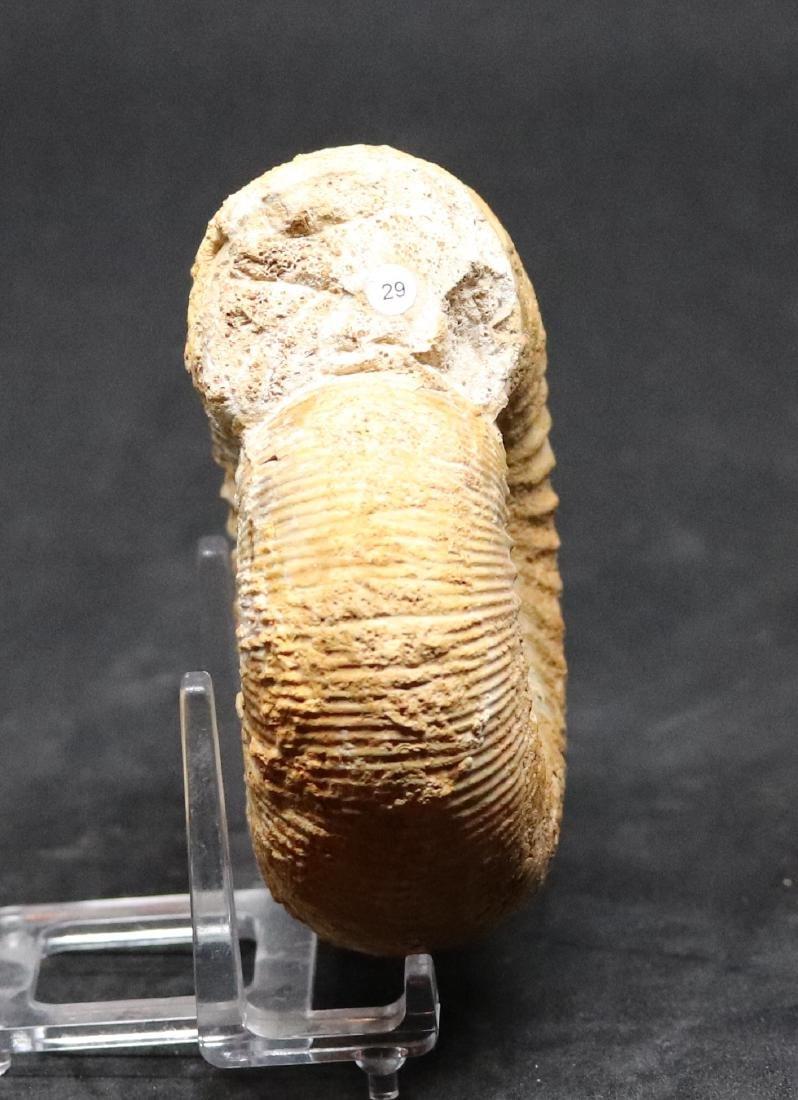 Fossil ammonite : Stephanoceras pyritosum - 2