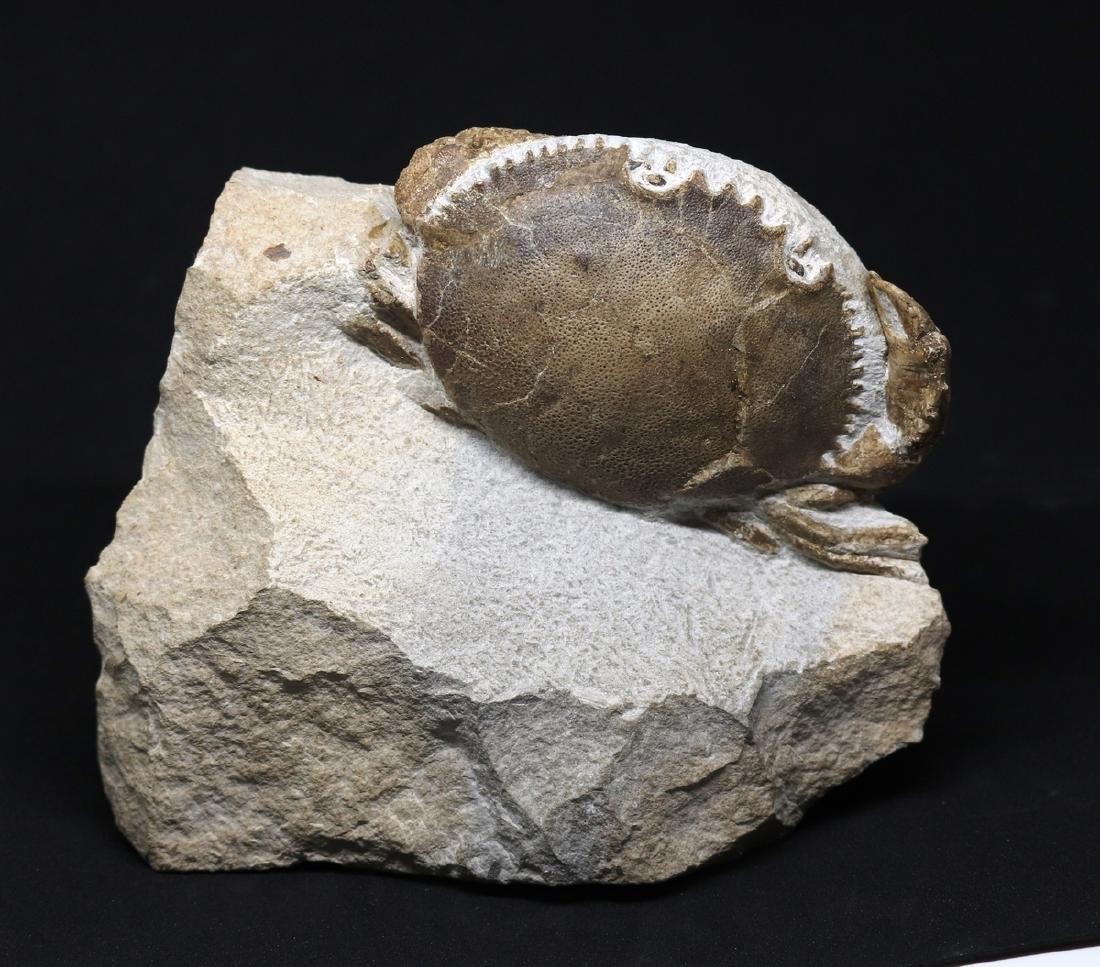 Fossil crab : Harpactocarcinus punctulatus