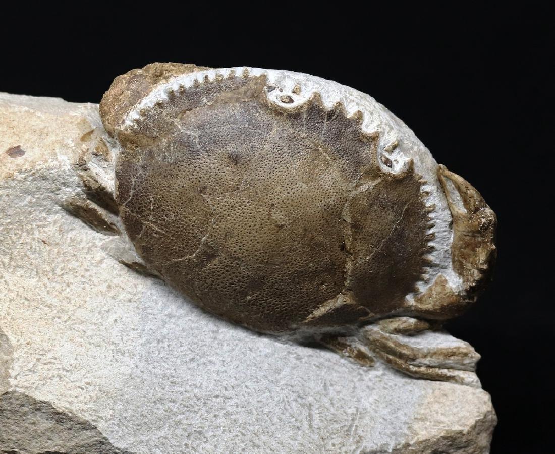 Fossil crab : Harpactocarcinus punctulatus - 2